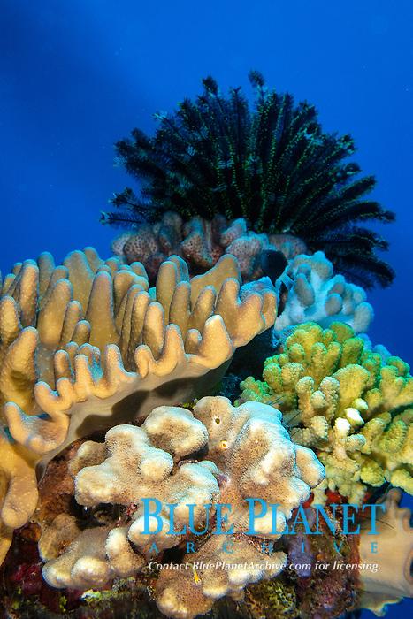 Corals and crinoid, Namu atoll, Marshall Islands, Micronesia, Pacific Ocean