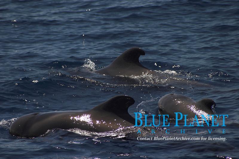 short-finned pilot whale, globicephala macrorhynchus, Azores Islands, Portugal, North Atlantic