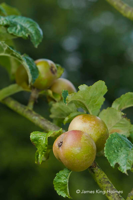 Apples variety Pine Golden Pippin