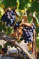 Europe/France/Aquitaine/24/Dordogne/Vallée de la Dordogne/Route des Vins de Bergerac/Vignoble de Bergerac: Grappes de raisin de Pécharmant