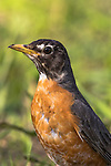 Closeup of an American robin in northern Wisconsin