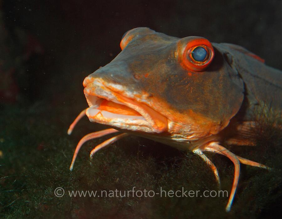 Roter Knurrhahn, Seeschwalbenfisch, Trigla lucerna, Chelidonichthys lucerna, tub gurnard, sapphirine gurnard