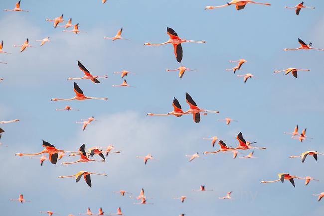 American Flamingo (Phoenicopterus ruber) flock in flight. Yucatan, Mexico.