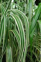 Miscanthus Sinensis Cosmopolitan