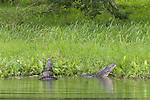 Damon, Texas; a pair of large, adult alligators posturing along the bank of the slough, vibrating the water and making loud gutteral sounds
