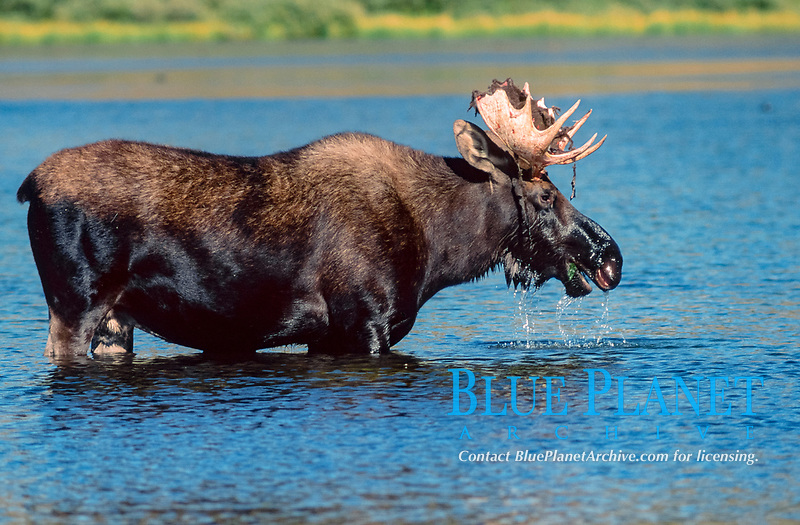 Moose bull, feeding in water, Grand Teton National Park, Wyoming, USA (Alces alces)