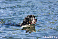 0301-1201  Tri-Colored English Springer Spaniel Hunting Dog Swimming in Water, Canis lupus familiaris  © David Kuhn/Dwight Kuhn Photography