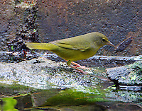 Juvenile mourning warbler at water feature in fall migration