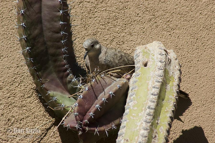 Inca dove, Columbina inca, building nest in cactus. Arizona-Sonora Desert Museum, Tucson, Arizona