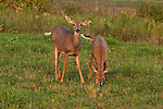 White-tailed doe with fawn(s)