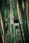 Grosbeak Weaver perched on the beginnings on its nest.