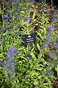 07/07/15<br /> <br /> Blue skullcap/Scutellaria lateriflora.<br /> <br /> Narcotic in small amounts causes fits in overdose. Once believed to be a cure for rabies.<br /> <br /> Alnwick Garden, Poison Garden.<br /> <br /> <br /> All Rights Reserved: F Stop Press Ltd. +44(0)1335 418629   www.fstoppress.com.