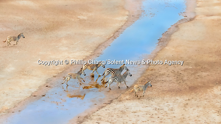 "Pictured: A herd of zebras are reflected on mirror-like water as they run through it.  Aerial photos of the animals show their hooves leaving prints in the sand as they ran through streams.<br /> <br /> Photographer Phillip Chang, 64, took these shots at the Masai Mara national park in Kenya.   Mr Chang, from California, USA, said: ""It was the raining season, and the land were scattered with puddles and ponds from the rain.   SEE OUR COPY FOR DETAILS<br /> <br /> Please byline: Phillip Chang/Solent News<br /> <br /> © Phillip Chang/Solent News & Photo Agency<br /> UK +44 (0) 2380 458800"
