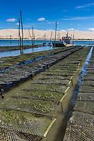 France, Gironde (33), bassin d'Arcachon, réserve naturelle du Banc d'Arguin, Sur les pacs à Huitres, en fond la Dune du Pyla Auto N°:  2013-137, Auto N°:  2013-138, Auto N°:  2013-139 Auto N°:  2013-140  // France, Gironde, Bassin d'Arcachon, Banc d'Arguin Natural Reserve, Bed oysters, Dune du Pyla in background Auto N°:  2013-137, Auto N°:  2013-138, Auto N°:  2013-139 Auto N°:  2013-140