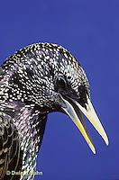 BL03-007z  Starling - winter plumage - Sturnus vulgaris