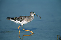 A Lesser yellowlegs (Tringa flavipes) carries its food along shore. Florida.