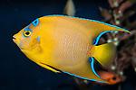 Queen Angelfish juvenile swimming left