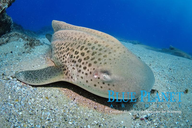 zebra shark, Stegostoma fasciatum, endangered species, North Stradbroke Island, Moreton Bay Marine Park, Brisbane, Queensland, Australia, Coral Sea, Pacific Ocean