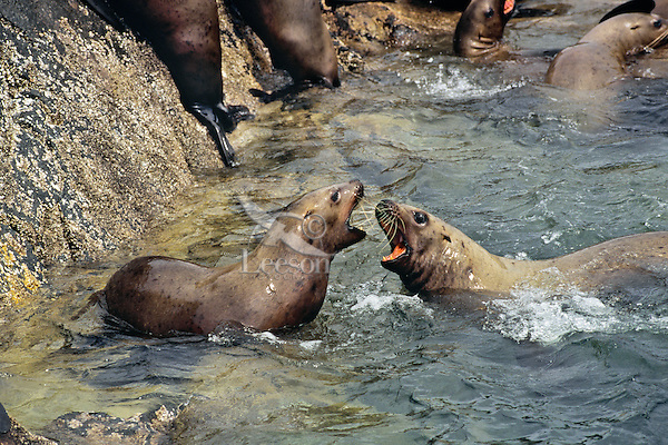Northern or Steller's Sea Lions (Eumetopias jubata) fighting most likely over territory or location.  Pacific Northwest coast.