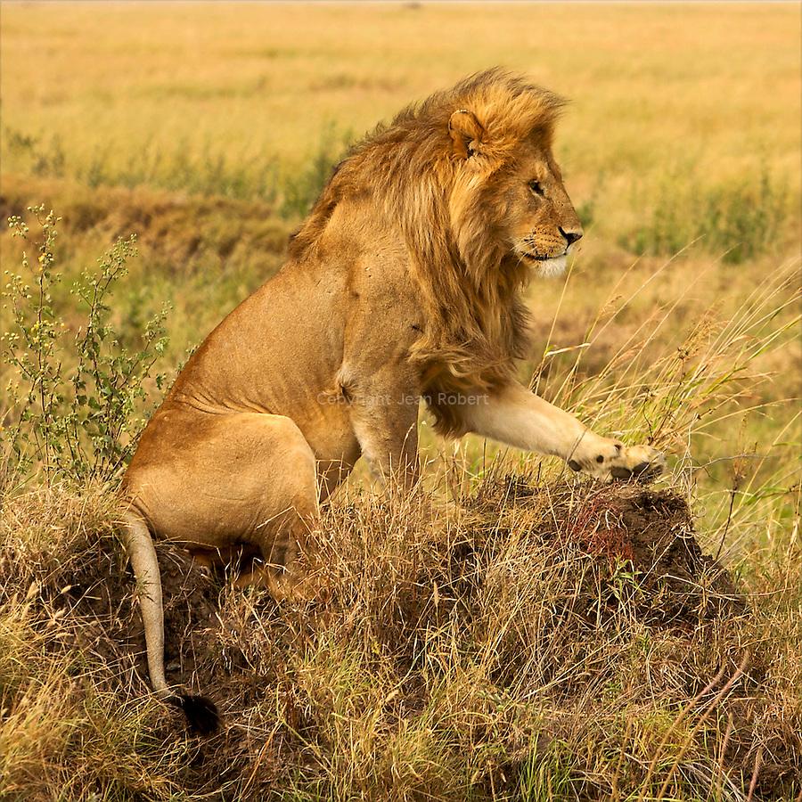 Lions. Simba Kopjes, south of Seronera
