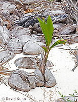 0106-1201  Coconut Palm Palm Germinating on Beach in Caribbean (Half-Moon Caye, Belize), Cocos nucifera  © David Kuhn/Dwight Kuhn Photography