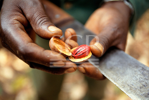 Mahale, Tanzania. Man's hands holding a machete and an opened nutmeg pod showing the nutmeg seed inside.