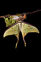 Indian Moon Moth / Indian Luna Moth {Actias selen} emerging from cocoon.  Captive. Sequence 23 of 24. website