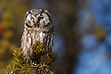 00841-010.17 Boreal Owl Aegolius funereus (DIGITAL) is hunting from a jack pine perch.  Predator, raptor, bird of prey, birding.  H3F1