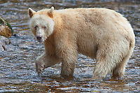 """Kermode """"Spirit"""" Bear pauses while fishing in a river"""