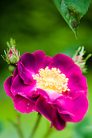 Detail of 'La Belle Sultane' (rosa gallica violacea) rose