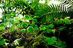 Sword Fern, Oxalis (Sorrel), and mosses adorn a nurse log fallen to the rainforest floor.  Queets River Valley, Sam's River.  Olympic National Park, Olympic Penninsula, Washington State. Olympic Peninsula