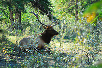 Bull elk napping in the bush in Jasper National Park Alberta Canada.