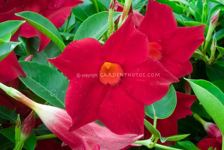 Mandevilla Vogue Series 'Rita' red flowers