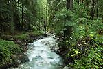 Coast Redwood (Sequoia sempervirens) forest and creek, Big Sur, California