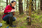 Scottish Wildcat (Felis silvestris grampia) biologist, Kerry Kilshaw, writing data for camera trap in coniferous forest, Scotland, United Kingdom