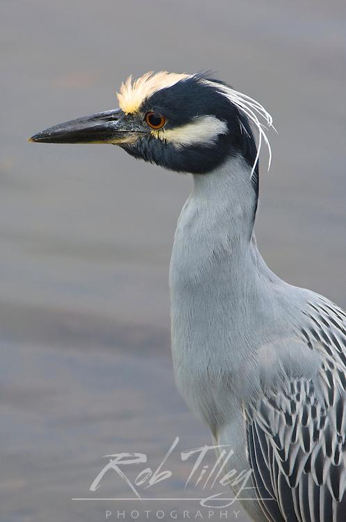 USA, Florida, Sanibel, Yellow-Crowned Night Heron (Nycticorax violaceus)