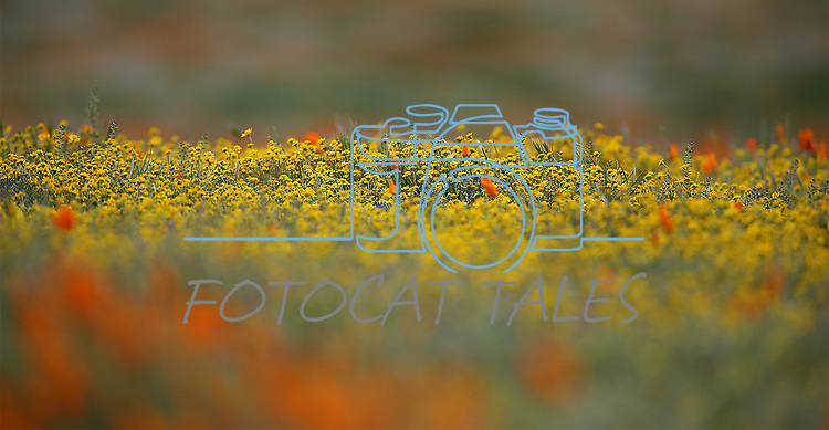 Images from the Antelope Valley Poppy Preserve near Lancaster, Ca., on Tuesday, March 21, 2017.<br /> Photo by Cathleen Allison/Nevada Photo Source