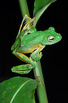 Wallace's Flying Frog (Rhacophorus nigropalmatus). Danum Valley, Sabah, Borneo.