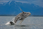 Photographer captures dramatic humpback whale breaching the water by Danny Sullivan