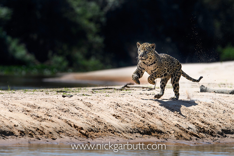 Female jaguar (Panthera onca) running along a sand spit chasing after a caiman. Northern Pantanal Cuiaba River, Mato Grosso, Brazil.