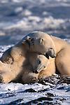 Two polar bears wrestle, Canada.