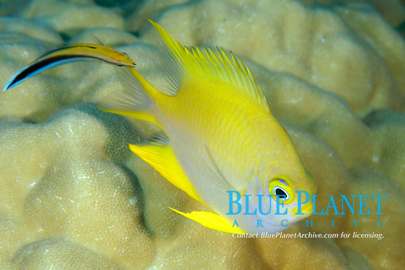 Golden damsel, Amblyglyphidodon aureus, being cleaned by bluestreak cleaner wrasse, Labroides dimidiatus, Namu atoll, Marshall Islands, Micronesia, Pacific Ocean