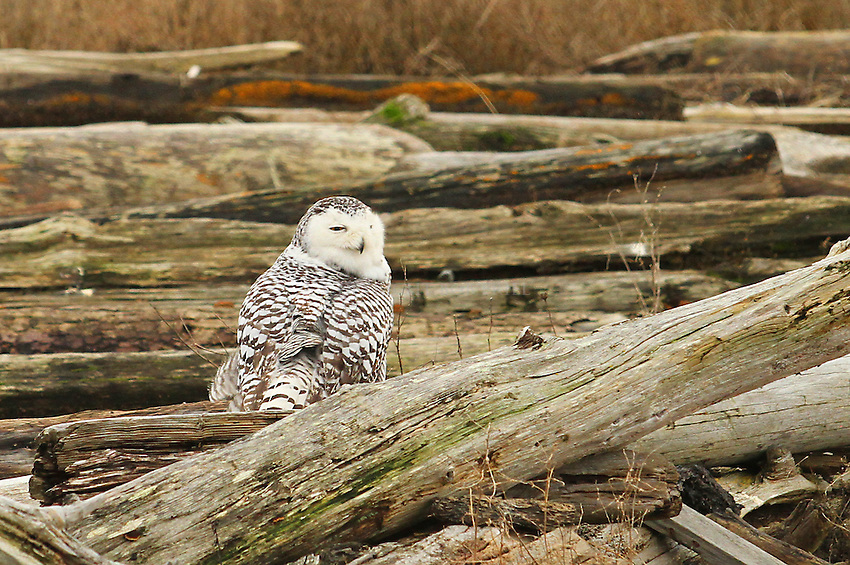 Winter at Boundary Bay, British Columbia, Canada, including an irruption of Snowy Owls.