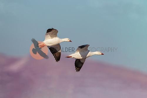 pair of Snow Geese in flight