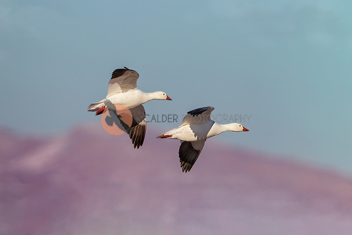 Pair of Snow Geese in flight with mountains in background