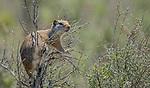 Yellowstone National Park, Wyoming: Uinta Ground Squirrel (Spermophilus armatus) on sagebrush