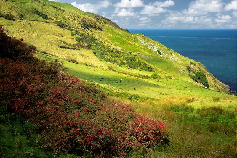 Fuschia growing wild. Torr Head. Northern Ireland.