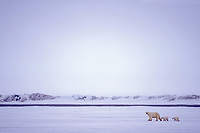 polar bear, Ursus maritimus, mother with spring cubs walking on the pack ice of the frozen coastal plain, 1002 area of the Arctic National Wildlife Refuge, Alaska, polar bear, Ursus maritimus