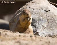 0601-1034  Black-tailed Prairie Dog, Cynomys ludovicianus  © David Kuhn/Dwight Kuhn Photography