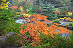 Kubota Garden, Seattle, WA: Orange colored leaves of a Japanese maple overlooking the varied textures and colors of the Japanese Garden